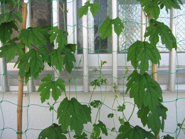 グリーンカーテン 作り方